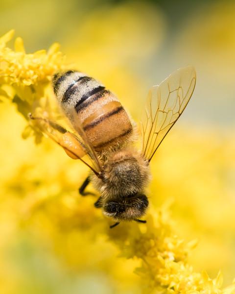 7-19-16 Honey Bee on Golden Rod - Flint Meadow-2388