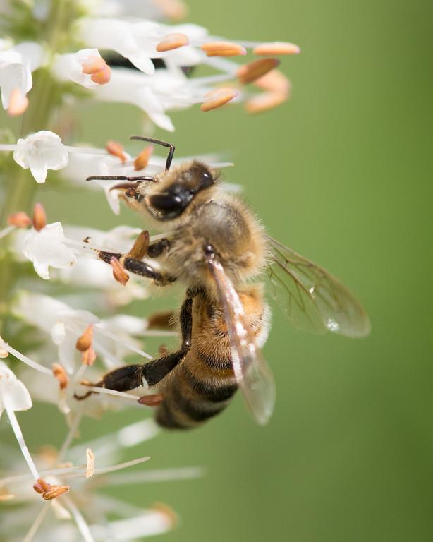 7-19-16 Honey Bee on Veronicastrum - Flint Meadow-2550