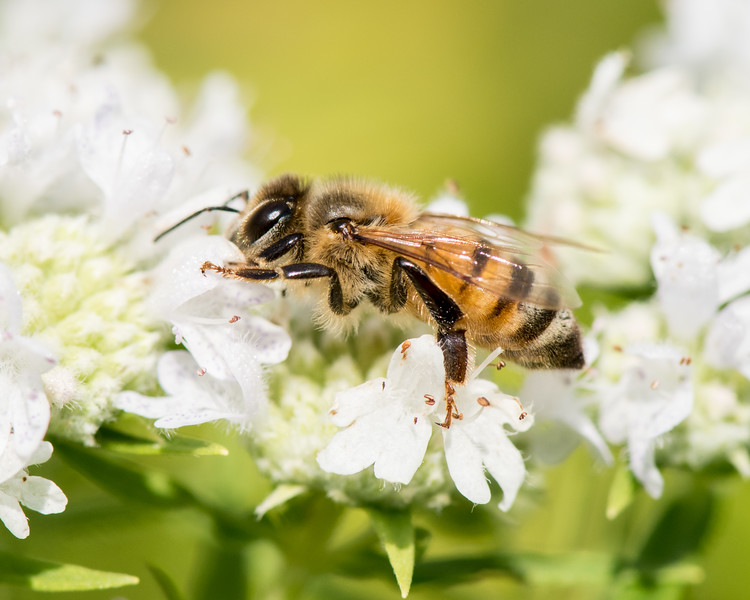 7-19-16 Honey Bee on Mountain Mint - Flint Meadow-2372
