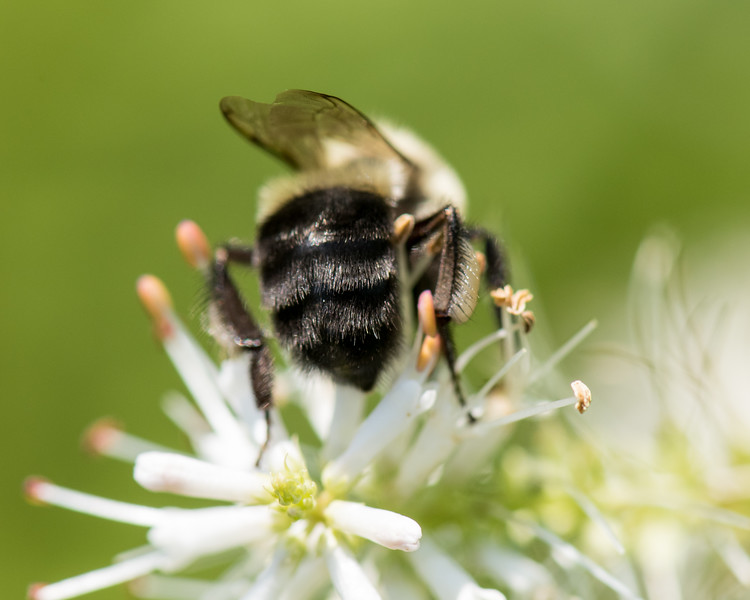 7-19-16 Bumble Bee  - Flint Meadow-2393