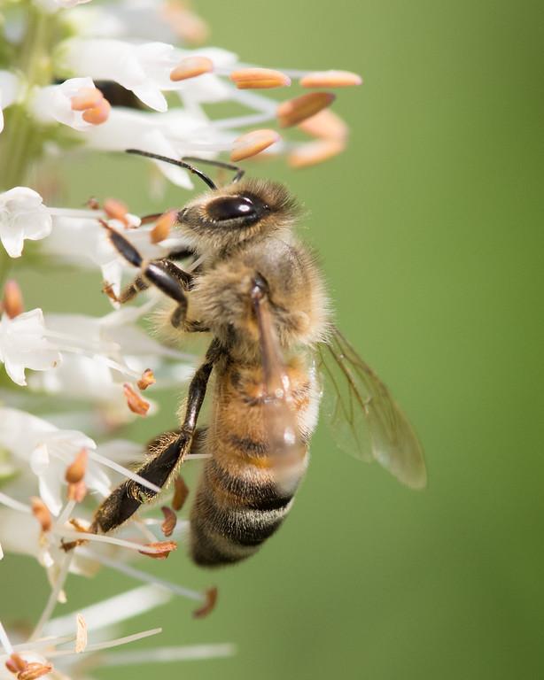 7-19-16 Honey Bee on Veronicastrum - Flint Meadow-2551