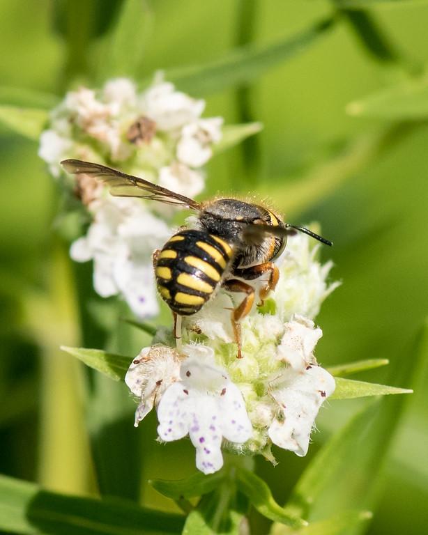 7-19-16 Anthidium Bee on Mountain Mint  - Flint Meadow-2491