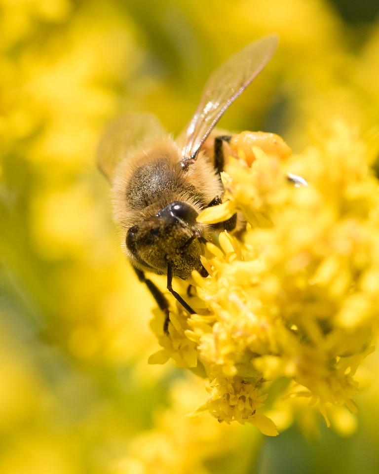 7-19-16 Honey Bee on Golden Rod - Flint Meadow-2380