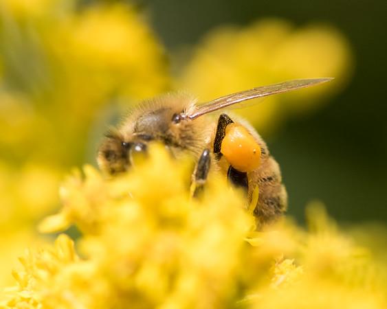 7-19-16 Honey Bee on Golden Rod - Flint Meadow-2378