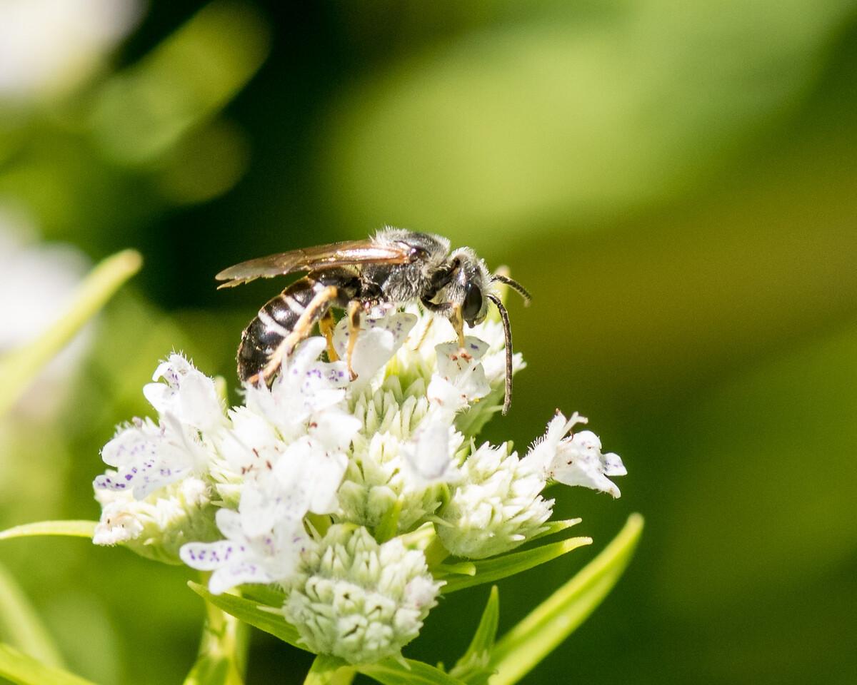 7-19-16 Misc  Bee on Mountain Mint  - Flint Meadow-2403