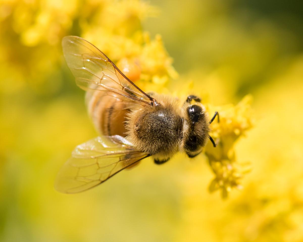 7-19-16 Honey Bee on Golden Rod - Flint Meadow-2387