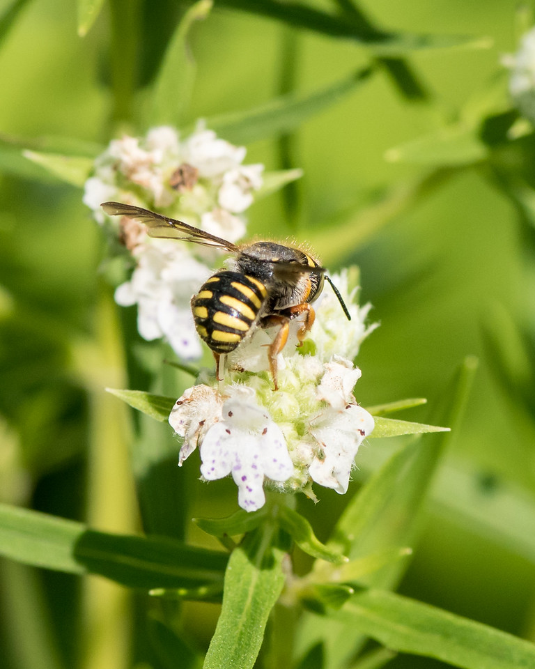 7-19-16 Anthidium Bee on Mountain Mint  - Flint Meadow-2490