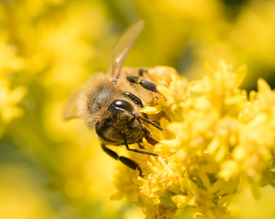 7-19-16 Honey Bee on Golden Rod - Flint Meadow-2383
