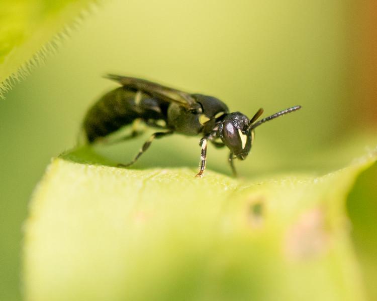 7-19-16 Hylaeus Bee - Flint Meadow-2524