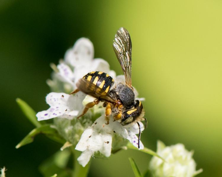 7-19-16 Anthidium Bee on Mountain Mint  - Flint Meadow-2497