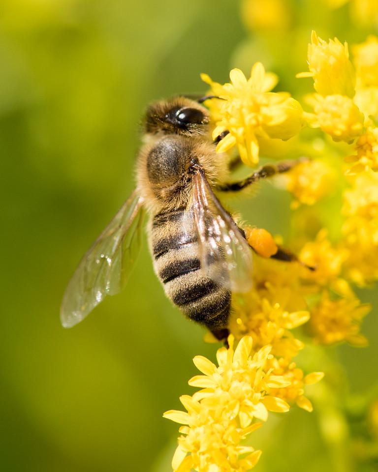 7-19-16 Honey Bee on Golden Rod  - Flint Meadow-2445