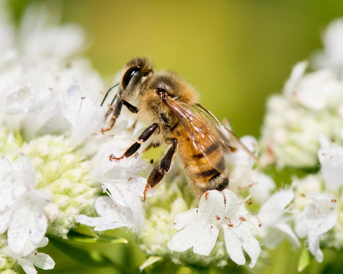 7-19-16 Honey Bee on Mountain Mint - Flint Meadow-2373