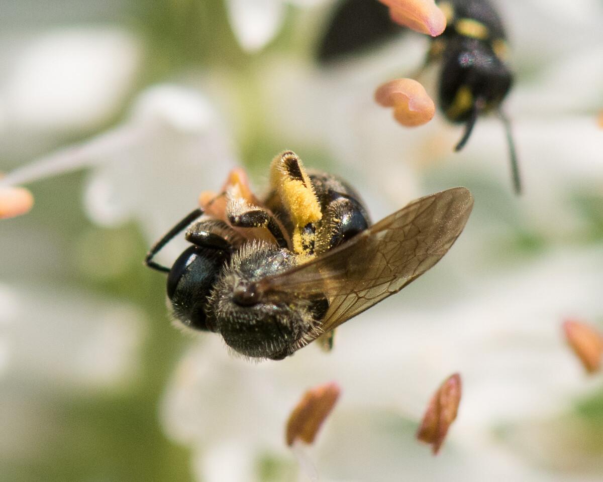 7-19-16 Misc  Bee on Veronicastrum - Flint Meadow-2552