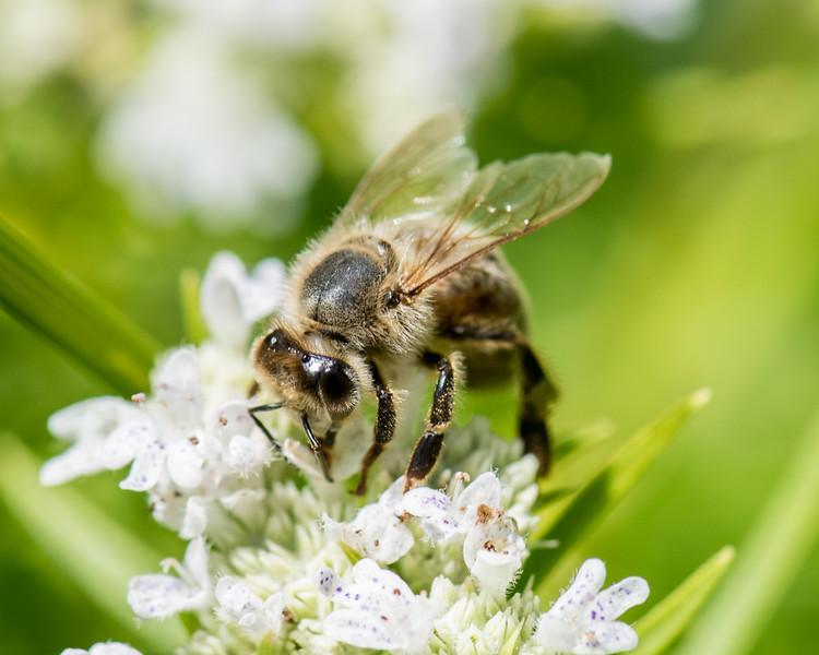 7-19-16 Misc  Bee on Mountain Mint  - Flint Meadow-2408