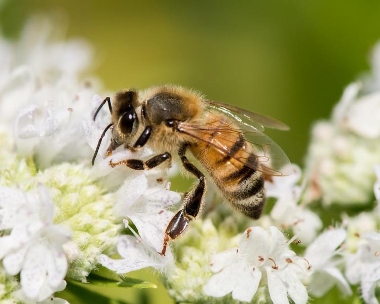 7-19-16 Honey Bee on Mountain Mint - Flint Meadow-2374