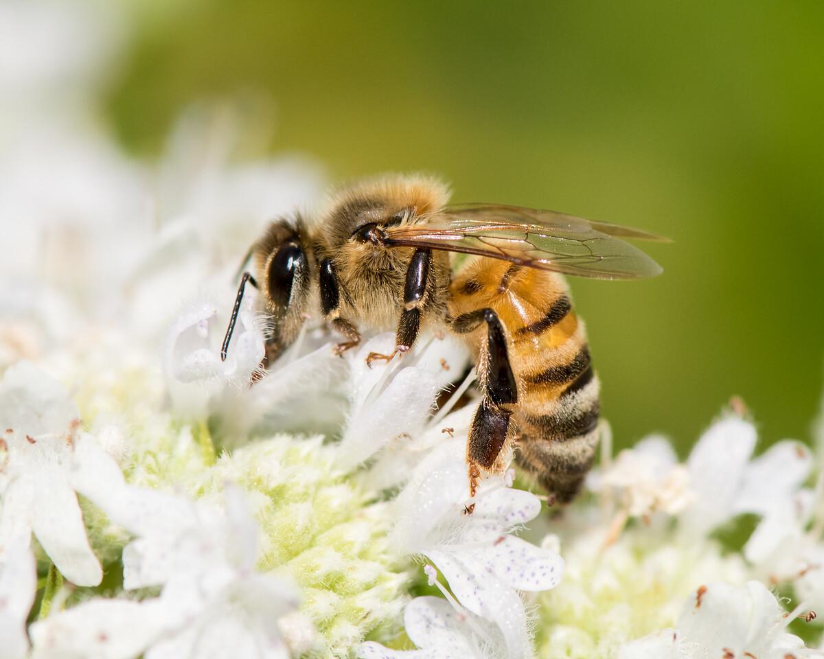 7-19-16 Honey Bee on Mountain Mint - Flint Meadow-2376