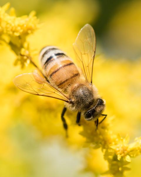 7-19-16 Honey Bee on Golden Rod - Flint Meadow-2389