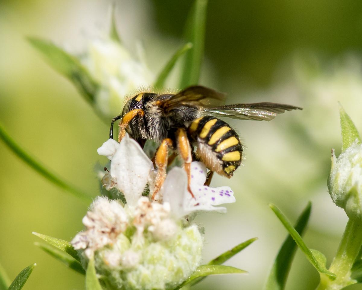 7-19-16 Anthidium Bee on Mountain Mint  - Flint Meadow-2496