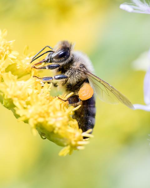 7-19-16 Misc  Bee on Golden Rod  - Flint Meadow-2417