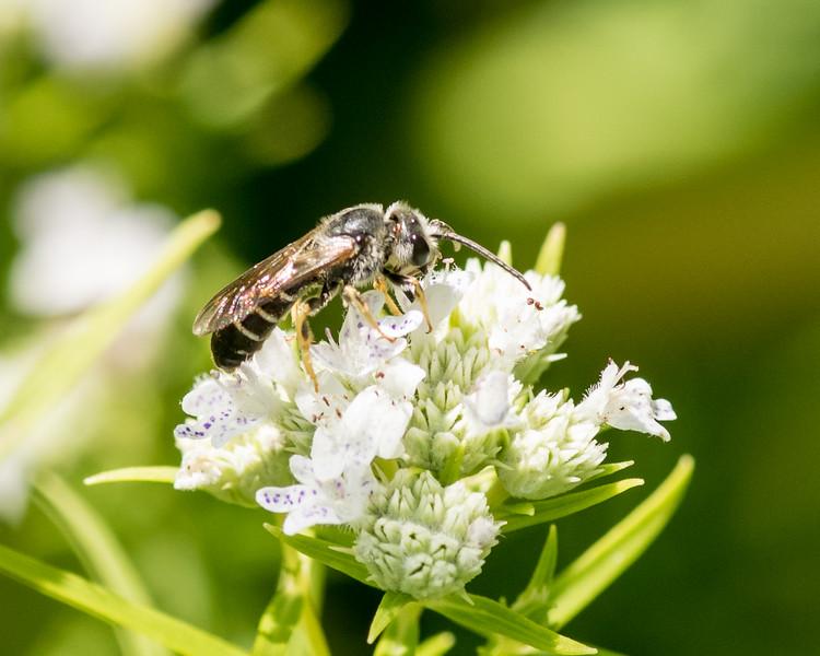 7-19-16 Misc  Bee on Mountain Mint  - Flint Meadow-2401
