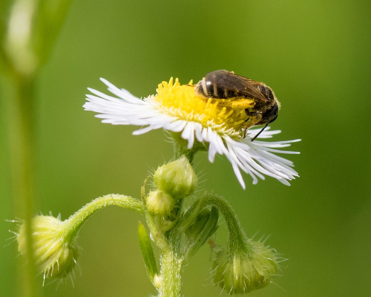 7-6-16 Bee on Fleabane - Flint Property-1772