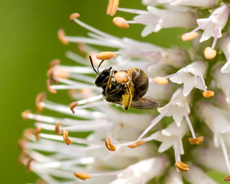 7-6-16 Bee on Veronicastrum - Flint Property-1846