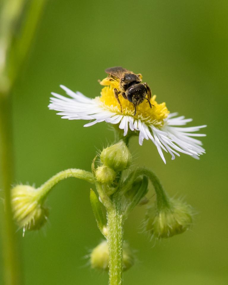 7-6-16 Bee on Fleabane - Flint Property-1769