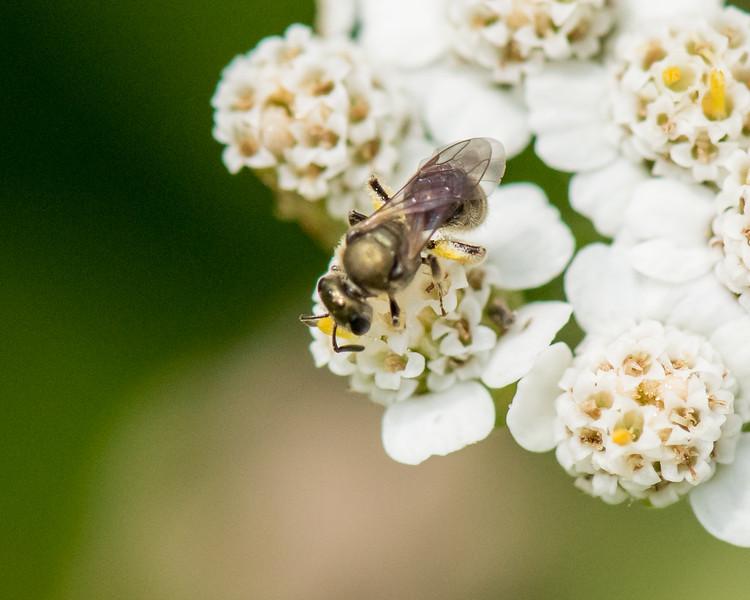 7-6-16 Bee on Yarrow - Flint Property-1761