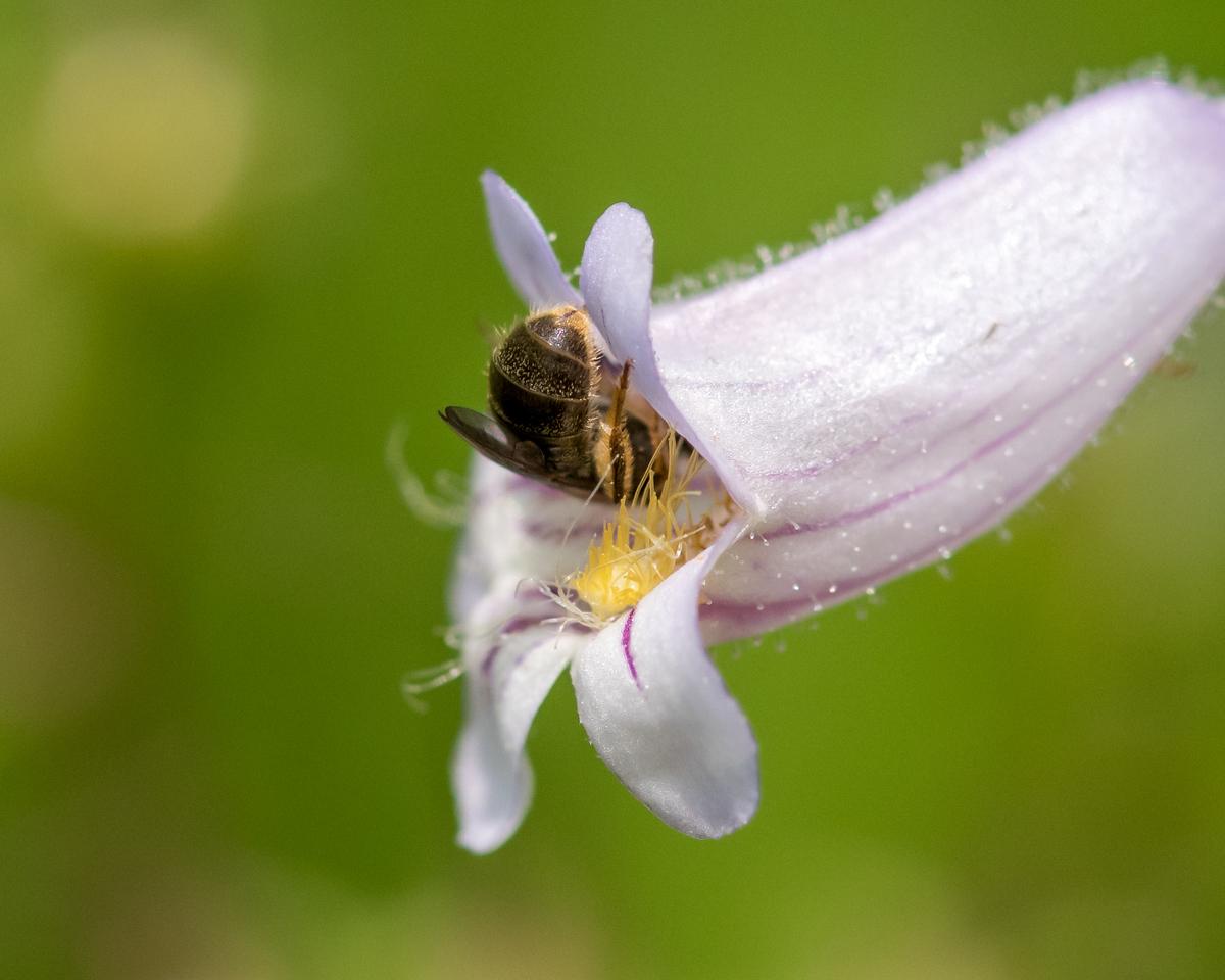 7-6-16 Bee on Penstemon - Flint Property-1813