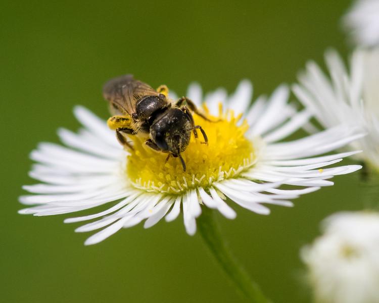 7-6-16 Bee on Fleabane - Flint Property-1777