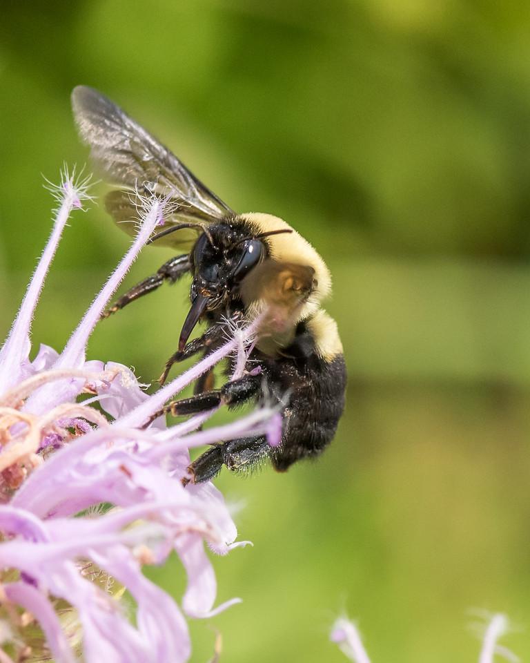 7-6-16 Bumble Bee on Monarda - Flint Property-1820
