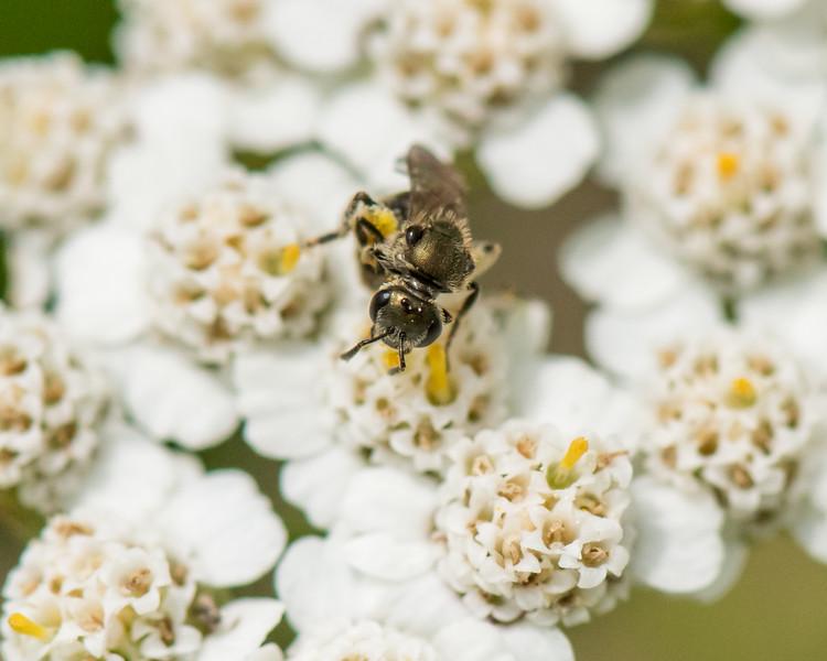 7-6-16 Bee on Yarrow - Flint Property-1758