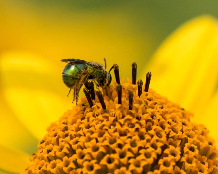 7-6-16 Bee on Helianthus - Flint Property-1799