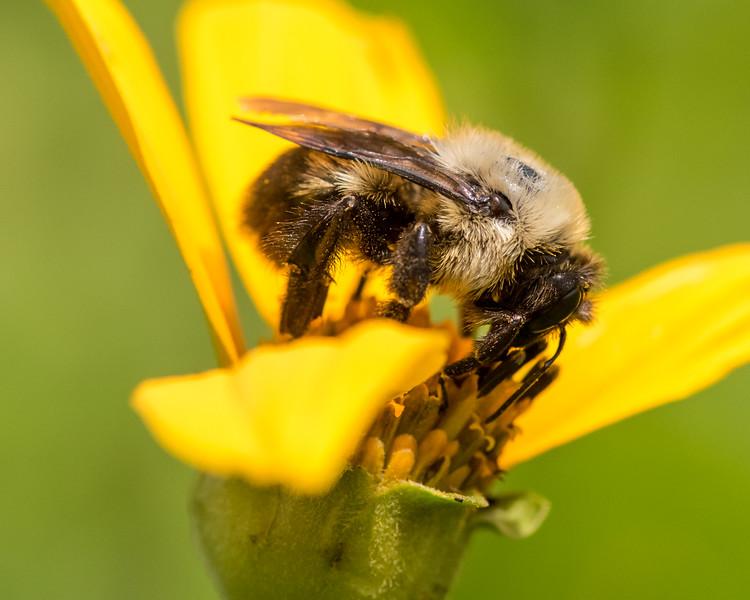 7-6-16 Bumble Bee on Helianthum - Flint Property-1863