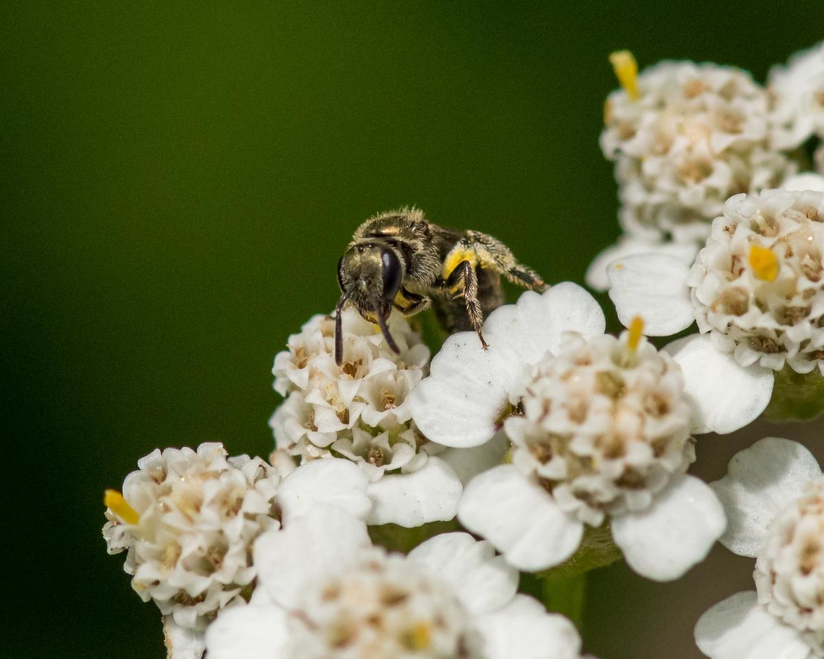 7-6-16 Bee on Yarrow - Flint Property-1754