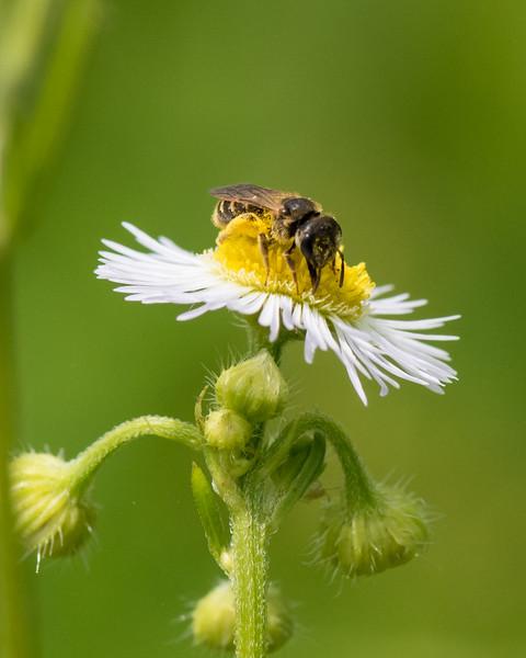 7-6-16 Bee on Fleabane - Flint Property-1770