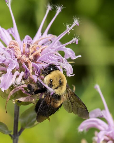 7-6-16 Bumble Bee on Monarda - Flint Property-1819