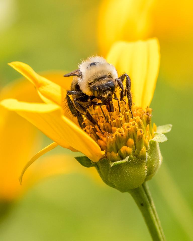 7-6-16 Bumble Bee on Helianthum - Flint Property-1855