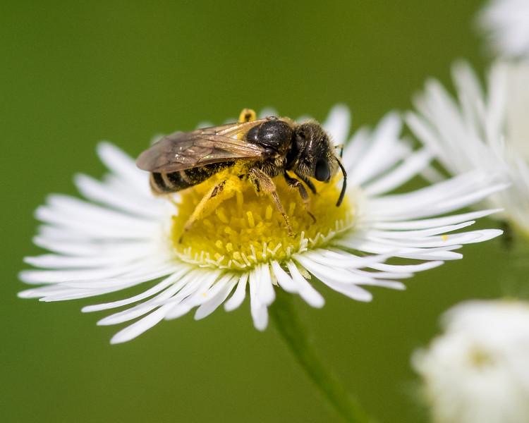 7-6-16 Bee on Fleabane - Flint Property-1778