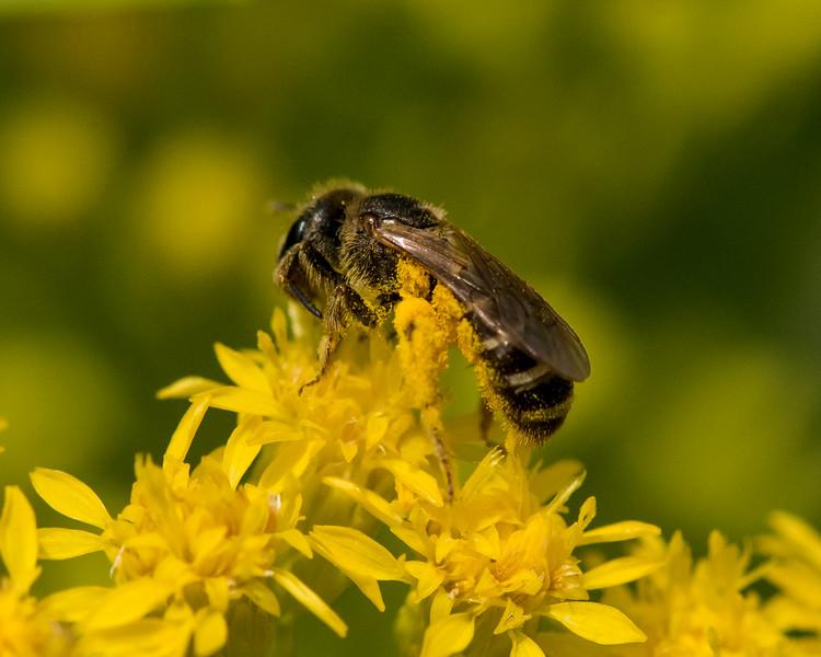 7-6-16 Bee on Solidago - Flint Property-1748