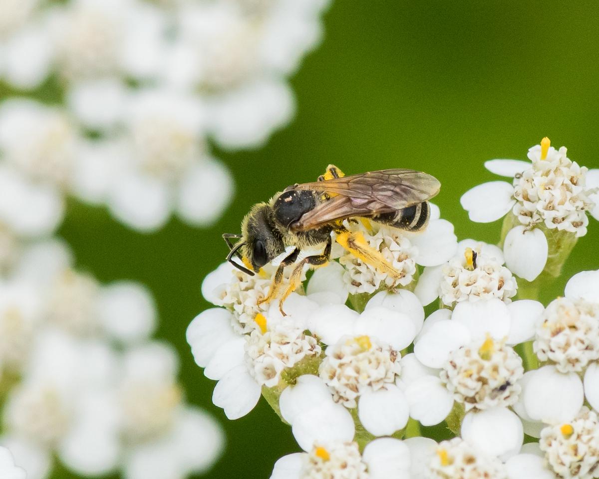 7-6-16 Bee on Yarrow - Flint Property-1870