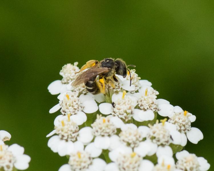 7-6-16 Bee on Yarrow - Flint Property-1867