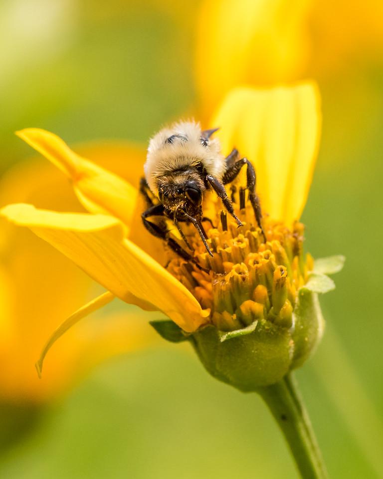 7-6-16 Bumble Bee on Helianthum - Flint Property-1856