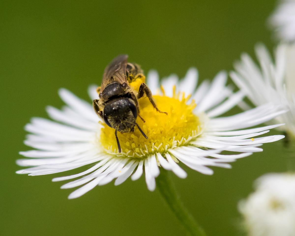 7-6-16 Bee on Fleabane - Flint Property-1776