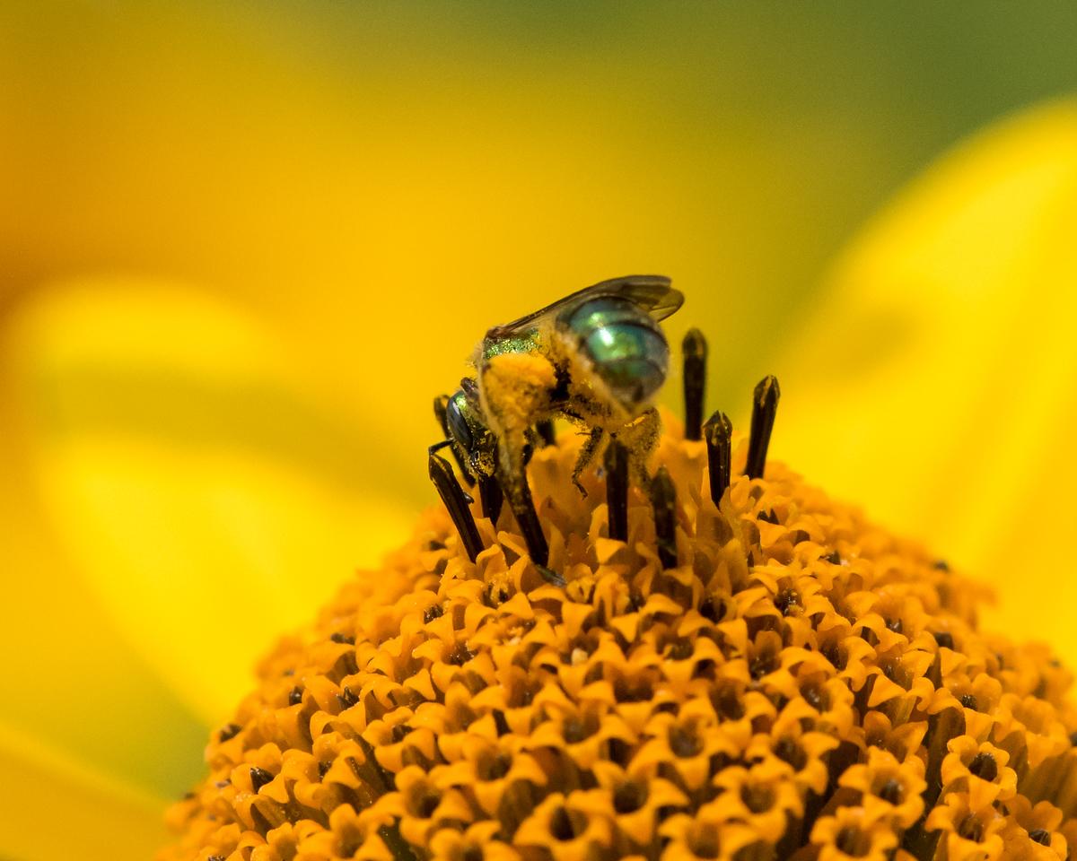 7-6-16 Bee on Helianthus - Flint Property-1796