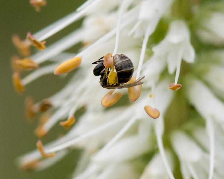 7-6-16 Bee on Veronicastrum - Flint Property-1785