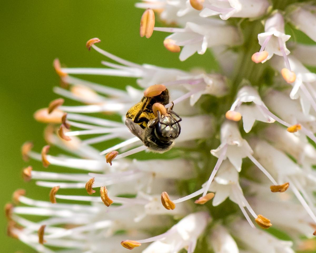 7-6-16 Bee on Veronicastrum - Flint Property-1839