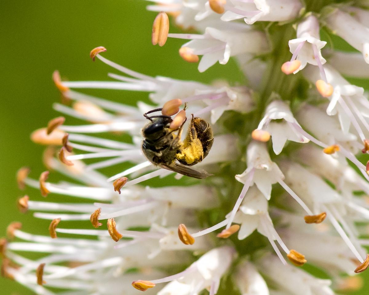 7-6-16 Bee on Veronicastrum - Flint Property-1832