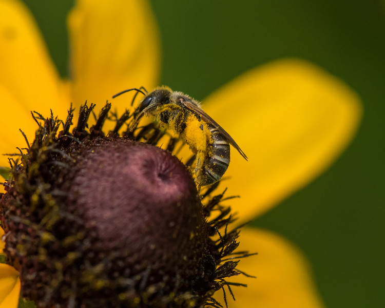 7-6-16 Bee on Rudbeckia - Flint Property-1767