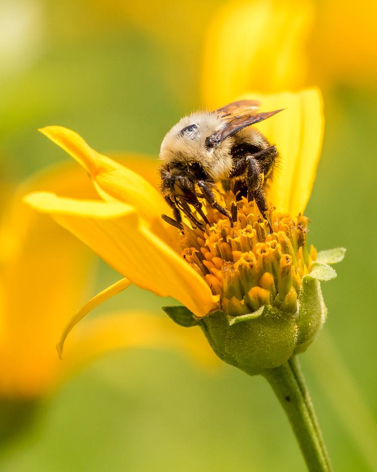 7-6-16 Bumble Bee on Helianthum - Flint Property-1857